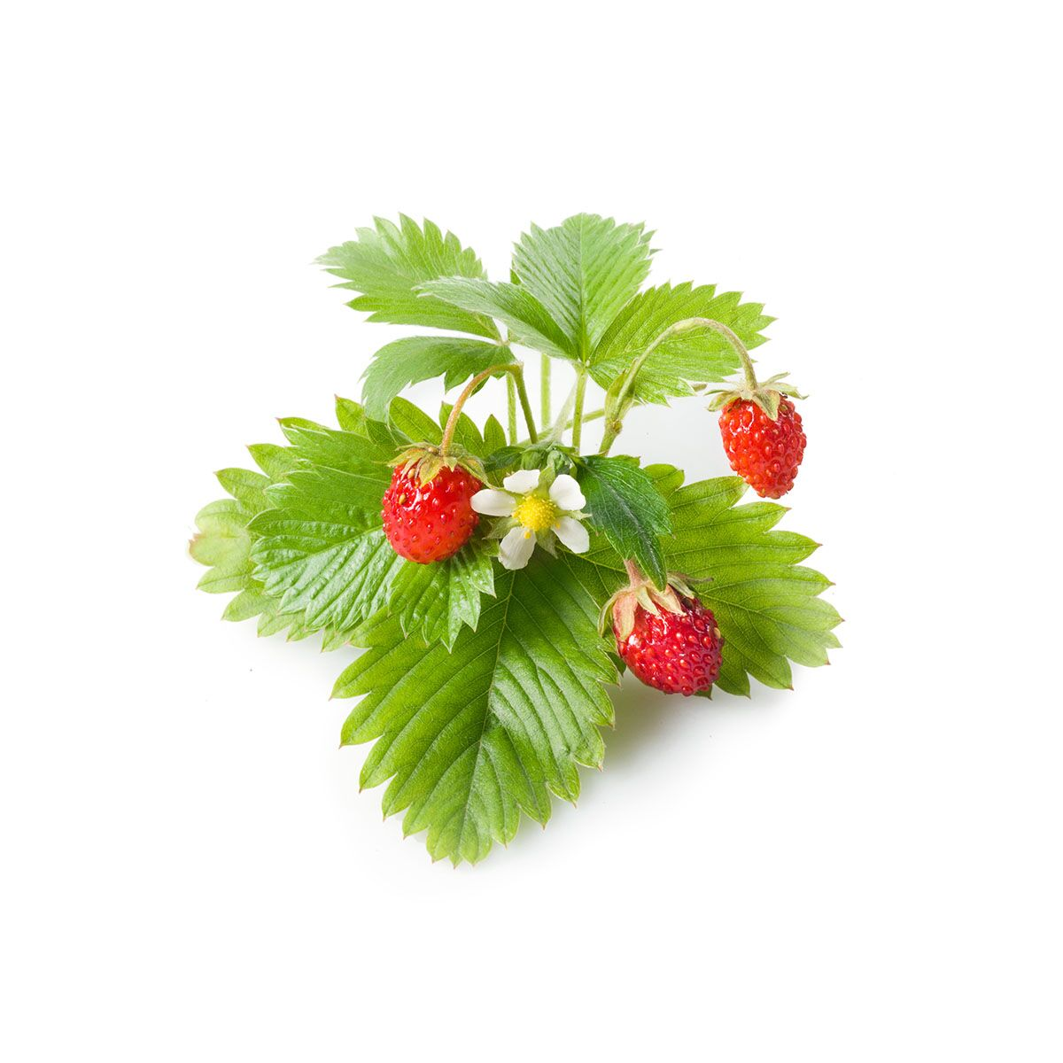 Wild_Strawberry_plant_1200x1200_preview.jpg