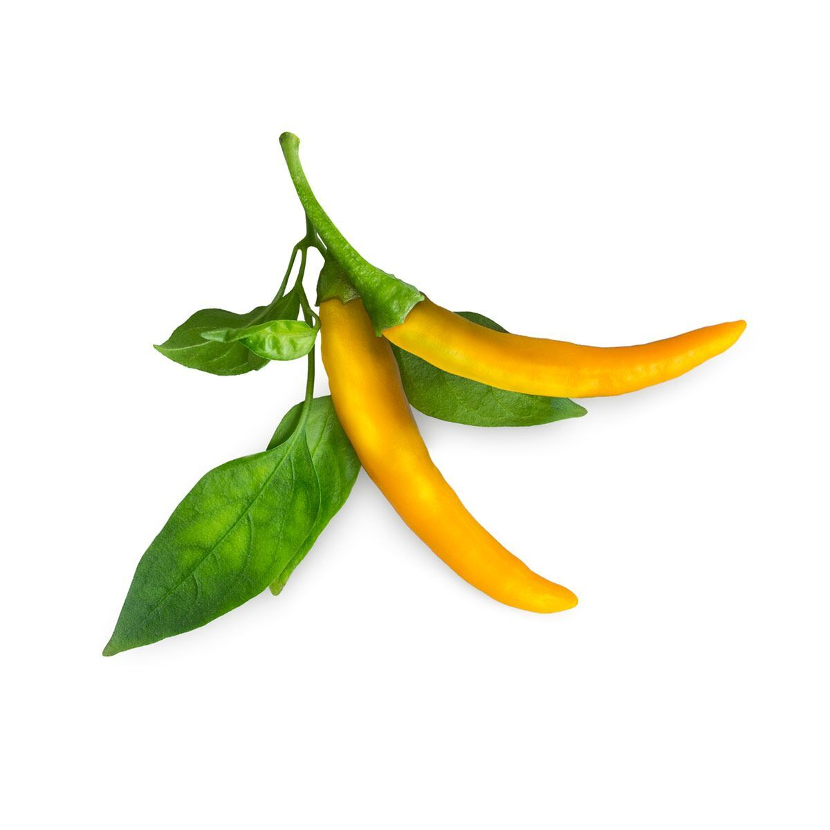 Yellow Chilli Pepper – Click & Grow Help Desk